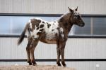 Sisu-Salmiakki